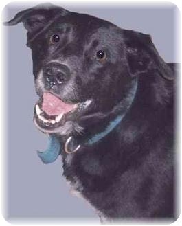 Labrador Retriever Mix Dog for adoption in Grass Valley, California - Jack