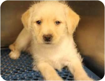 Terrier (Unknown Type, Small)/Maltese Mix Puppy for adoption in Yuba City, California - Cognac