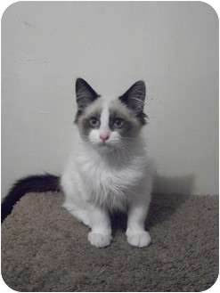 Domestic Longhair Kitten for adoption in Modesto, California - Scout