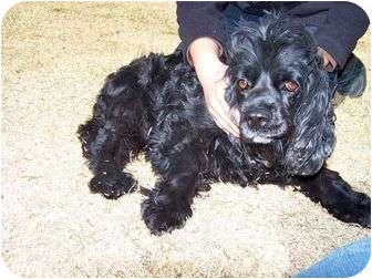 Cocker Spaniel Dog for adoption in Patterson, California - OLIVE