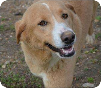 Golden Retriever/Collie Mix Dog for adoption in Westfield, Massachusetts - Beauty Too