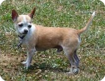 Chihuahua Dog for adoption in Windham, New Hampshire - Eli