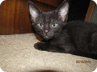 Maine Coon Kitten for adoption in Oak Lawn, Illinois - Raj