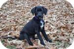 Labrador Retriever Mix Puppy for adoption in East Hartford, Connecticut - JarJar ADOPTION PENDING