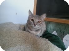 Domestic Shorthair Cat for adoption in Garland, Texas - Willow