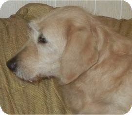 Labradoodle Dog for adoption in Antioch, Illinois - Megan ADOPTED!!