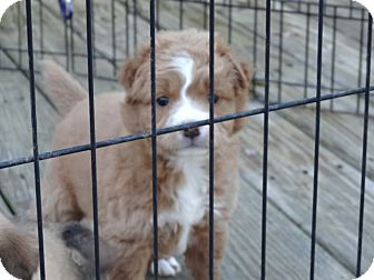Cocker Spaniel/Golden Retriever Mix Puppy for adoption in Wilminton, Delaware - Elise