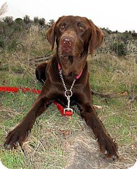 Labrador Retriever/German Shorthaired Pointer Mix Dog for adoption in Redmond, Oregon - Cooper