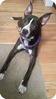 Pit Bull Terrier/American Pit Bull Terrier Mix Dog for adoption in Lake Orion, Michigan - Itsy