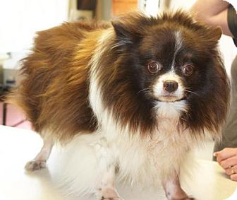 Pomeranian Dog for adoption in Cottageville, West Virginia - Cecila