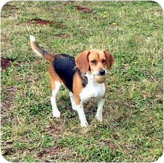 Beagle Dog for adoption in Estacada, Oregon - Molly