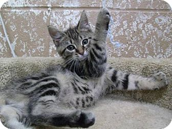 Maine Coon Kitten for adoption in Greenville, Kentucky - Tiger