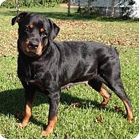 Adopt A Pet :: Lady Sasha - Alachua, GA