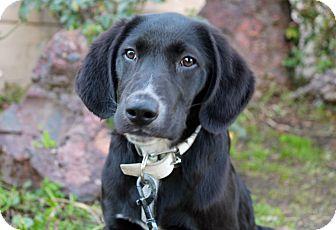 Labrador Retriever Mix Puppy for adoption in Los Angeles, California - Steinbeck