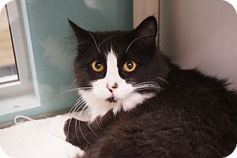 Domestic Longhair Cat for adoption in Farmington, New Mexico - Clark