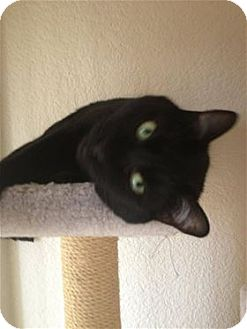 Domestic Shorthair Cat for adoption in Lincoln, California - Stella