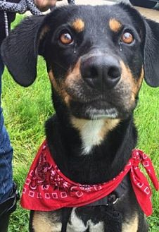 Rottweiler Mix Dog for adoption in Elyria, Ohio - Jimmy