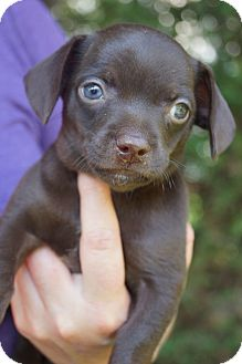 Chihuahua/Spaniel (Unknown Type) Mix Puppy for adoption in West Nyack, New York - Lima Bean
