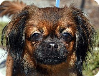 Tibetan Spaniel/Pekingese Mix Dog for adoption in New Haven, Connecticut - PUMPKIN PIE