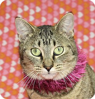 Domestic Shorthair Cat for adoption in Jackson, Michigan - Fiona