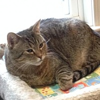 Domestic Shorthair Cat for adoption in Ashland, Massachusetts - Sweetie (2)