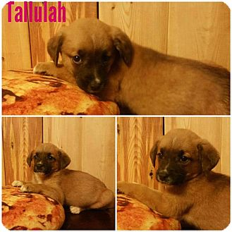 Black Mouth Cur Mix Puppy for adoption in Oxford, Connecticut - Tallulah