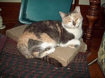 Domestic Shorthair Cat for adoption in Harrisburg, Pennsylvania - Callie (courtesy posting)