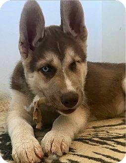 Siberian Husky Puppy for adoption in Yucca Valley, California - JACKSON(JAX)
