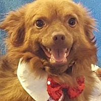 Pomeranian/Spaniel (Unknown Type) Mix Dog for adoption in Vacaville, California - Archie