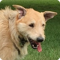 Irish Terrier Mix Dog for adoption in Vancouver, British Columbia - Sandy