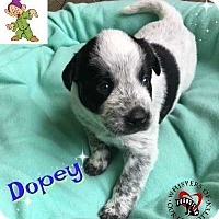 Adopt A Pet :: Dopey - South Mills, NC