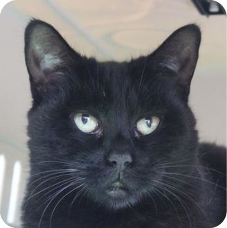Domestic Shorthair/Domestic Shorthair Mix Cat for adoption in Ithaca, New York - Shelby 22548-c