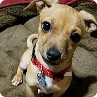Adopt A Pet :: Mango - Pompton Lakes, NJ