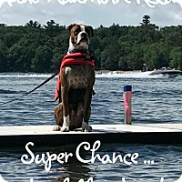 Adopt A Pet :: Available to Adopt - Chance 2 - Waterford, MI