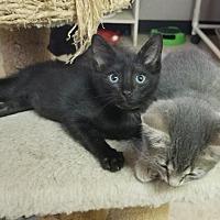 Adopt A Pet :: Kitten 16079 - Parlier, CA