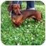 Photo 1 - Dachshund Dog for adoption in Seneca, South Carolina - BUDDY