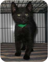 Domestic Shorthair Kitten for adoption in Shelton, Washington - Rhonda