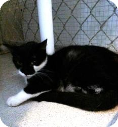 Domestic Shorthair Cat for adoption in Geneseo, Illinois - Domino