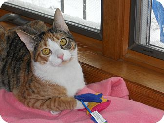 Domestic Shorthair Cat for adoption in Wayne, New Jersey - Sweet Pea