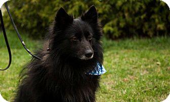 Spitz (Unknown Type, Medium) Mix Dog for adoption in Ile-Perrot, Quebec - Starkey