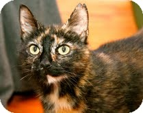 Domestic Shorthair Cat for adoption in East Brunswick, New Jersey - Molly