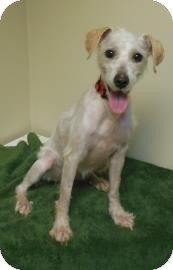 Poodle (Miniature) Mix Dog for adoption in Gary, Indiana - Maggie