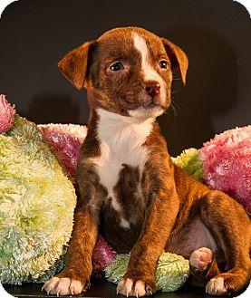 Terrier (Unknown Type, Medium)/Labrador Retriever Mix Puppy for adoption in Big Canoe, Georgia - Adrian