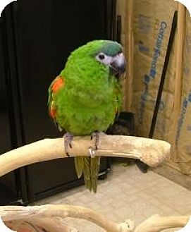 Macaw for adoption in Northbrook, Illinois - Kirby