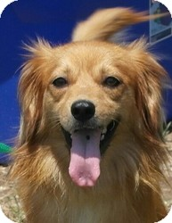Spaniel (Unknown Type)/Tibetan Spaniel Mix Dog for adoption in Seneca, South Carolina - Dixie