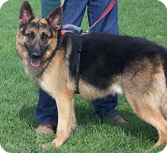 German Shepherd Dog Dog for adoption in Tully, New York - TRUCKER