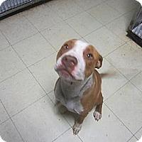Adopt A Pet :: Dallas - Indianapolis, IN