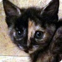 Adopt A Pet :: Juliet - Denton, TX