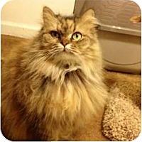 Adopt A Pet :: Holly - Beverly Hills, CA