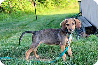 Shepherd (Unknown Type)/Labrador Retriever Mix Puppy for adoption in Kimberton, Pennsylvania - Annabelle